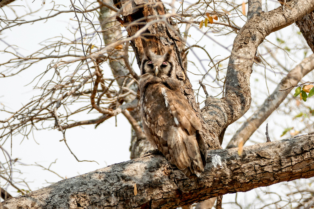 Giant-Eagle-Owl—Chobe