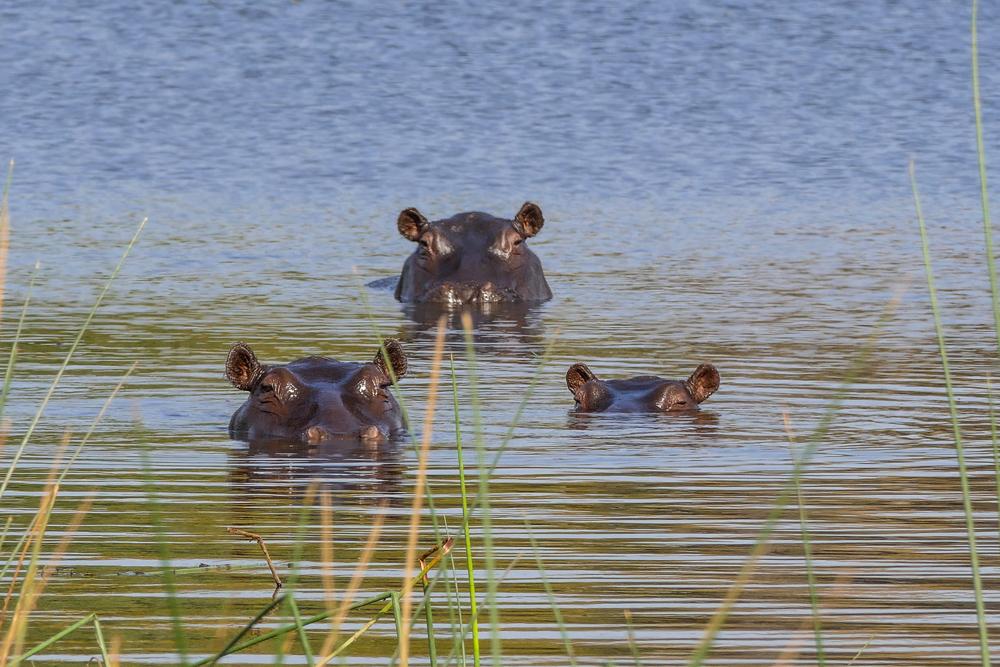 Hippos-Palm-Island—Xugana