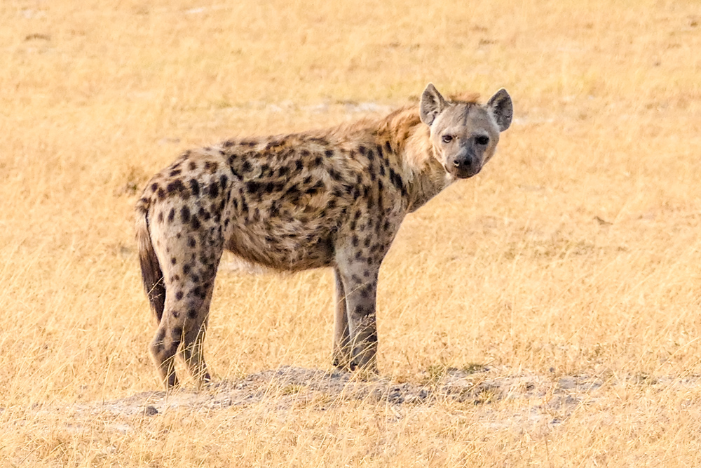 Hyena—Xakanaxa-Moremi