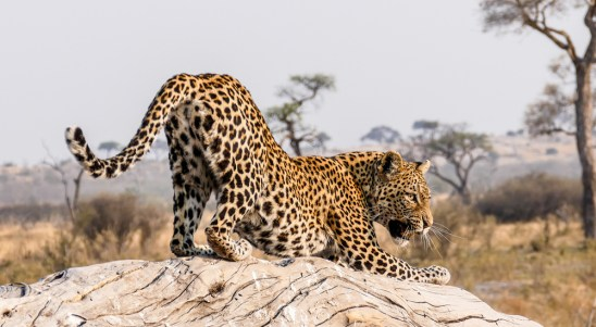Leopard-Encounter-I—Savuti