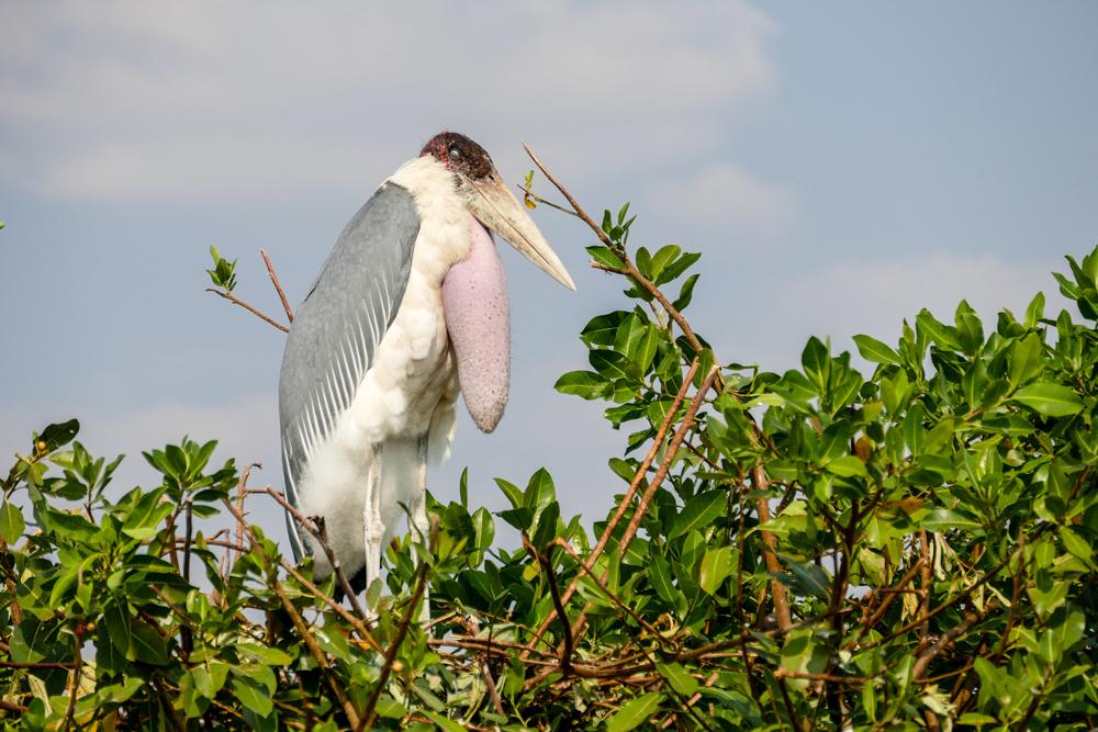Maribou-Stork—Xugana