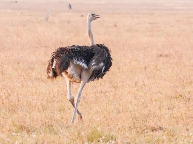 Ostrich—Savuti