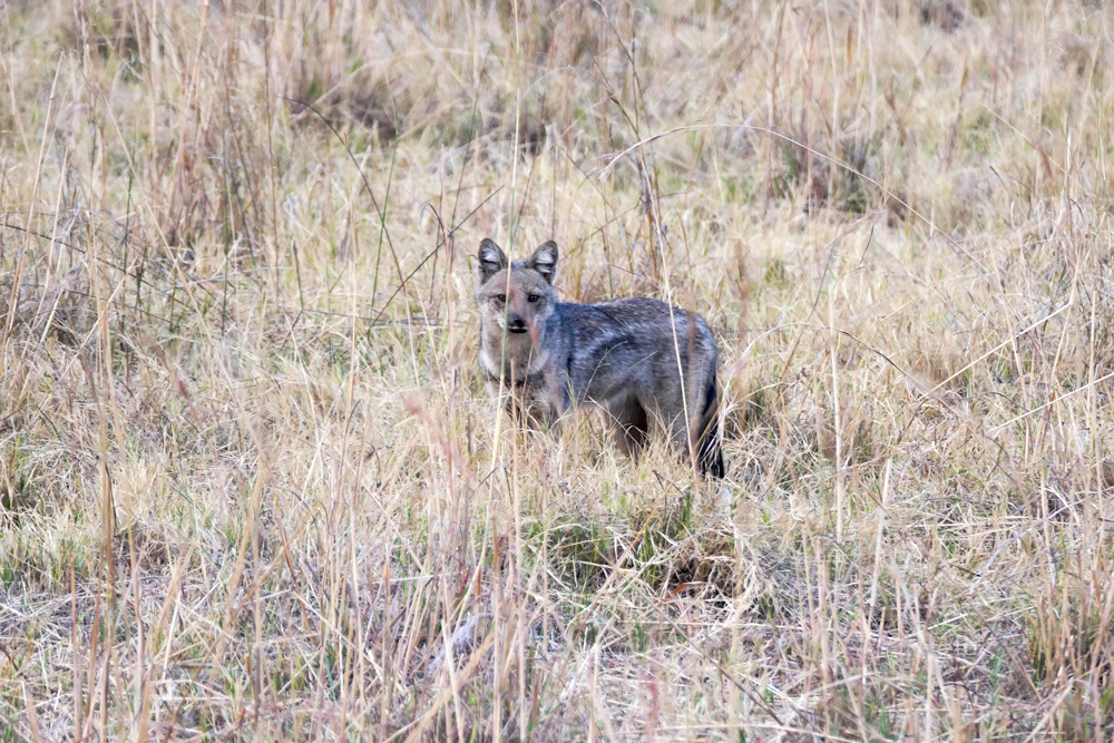 Side-Striped-Jackal—Xakanaxa-Moremi