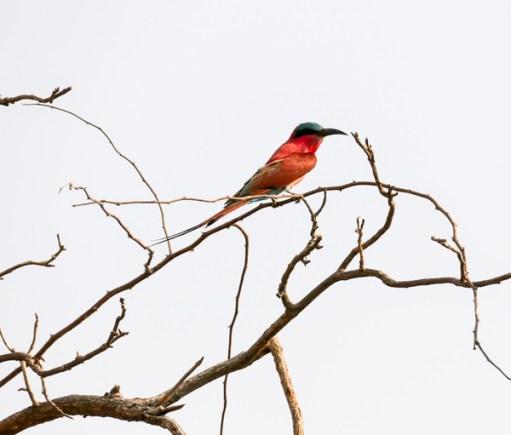 Southern-Carmine-Bee-eater—Chobe
