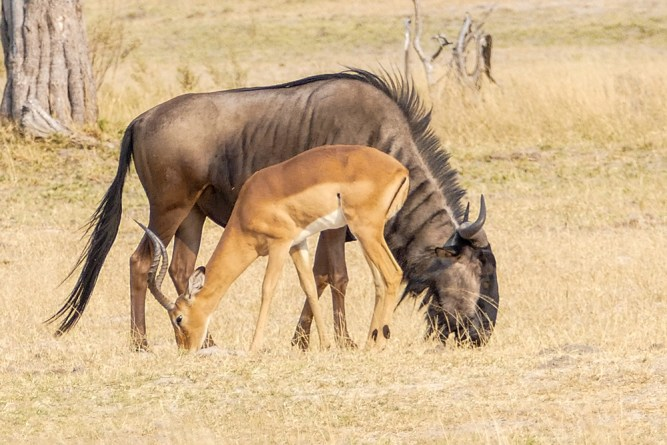 Wildebeest-&-Impala—Xakanaxa-Moremi