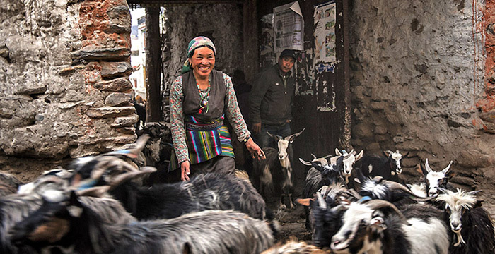 From-Himalayan-Foundation-webpage-goats_livelihood_700_gallery-saadj-small