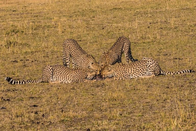 masai-mara-pax-john-sommerer-cheetah-squad-cradj-1000