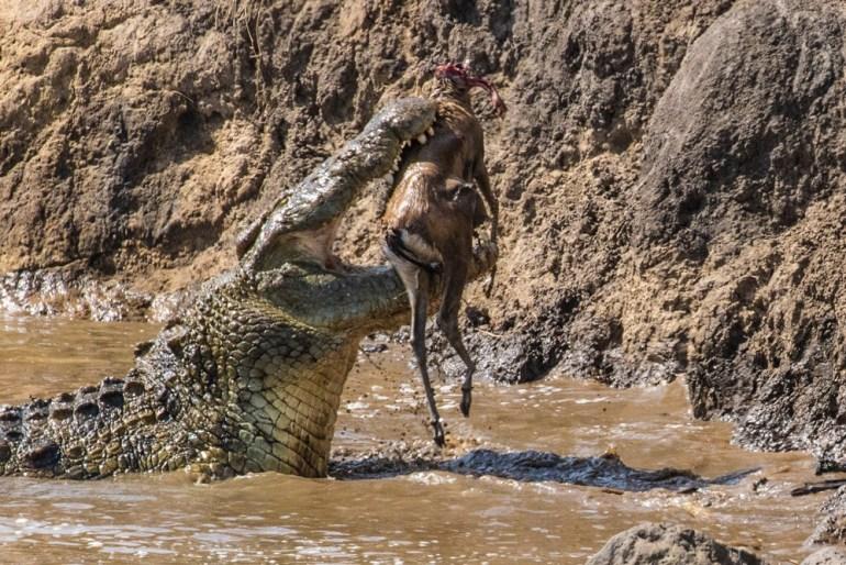 masai-mara-pax-john-sommerer-croc-dikdik-cradj-1000