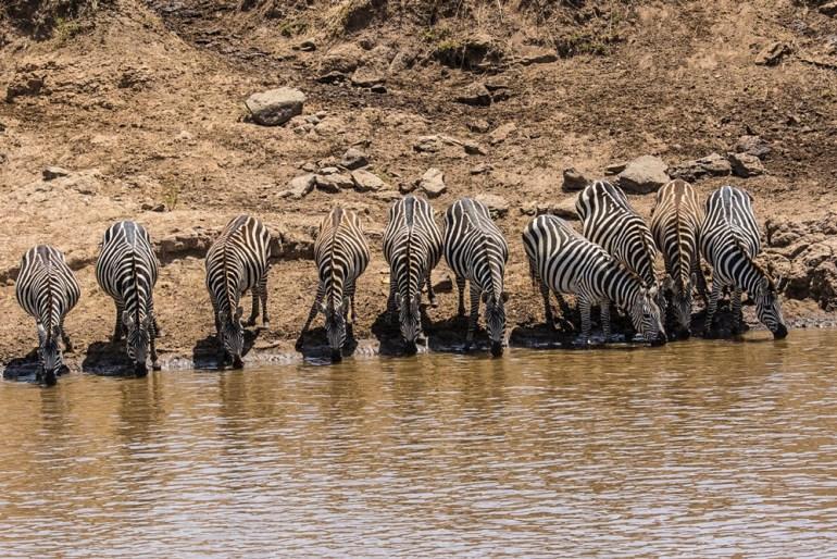 masai-mara-pax-john-sommerer-zebra-cradj-1000