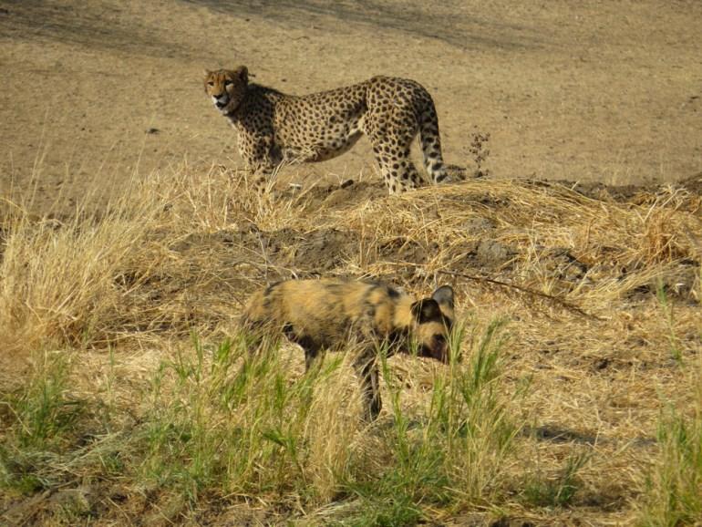 cheetah and wild dog Namibia