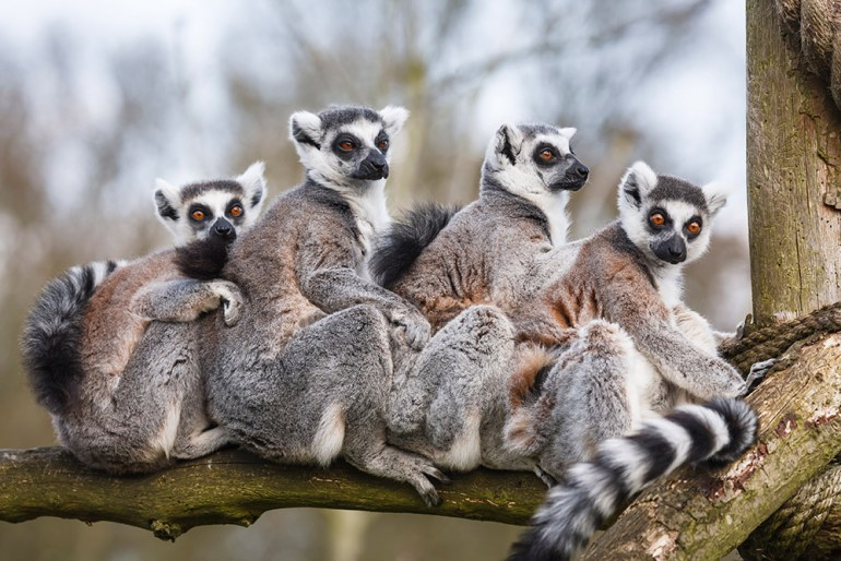 Group of Ring-tailed Lemur on Tree Branch