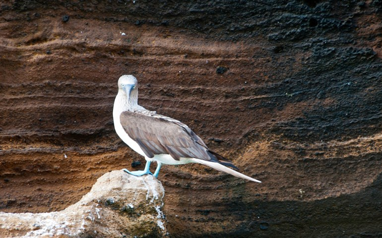 blue-footed booby standing on rock in the galapagos