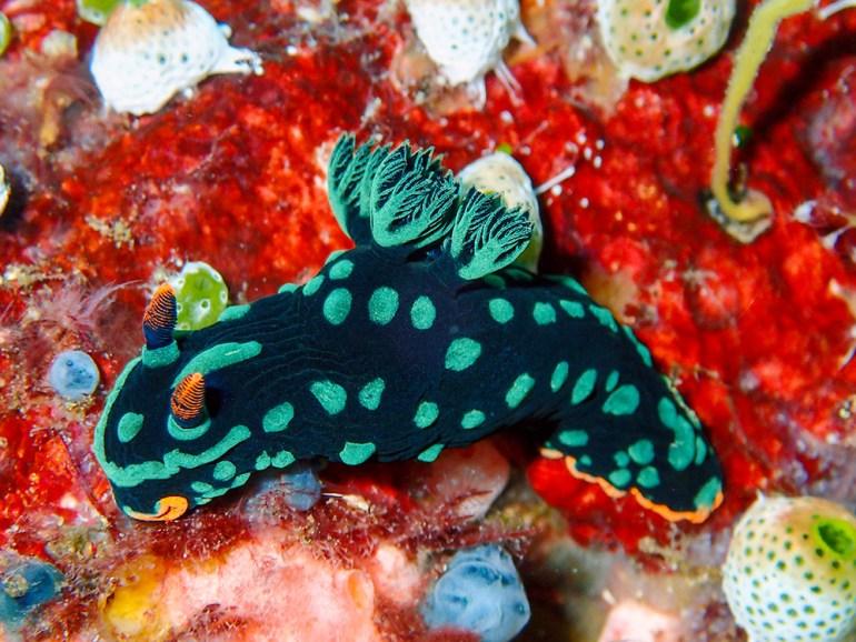 Raja Ampat nudibranch