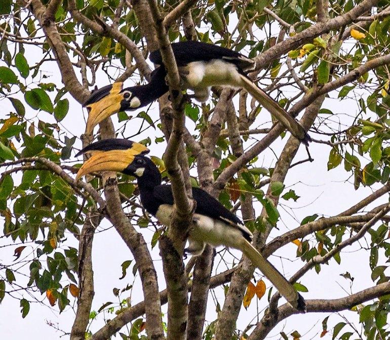 Malabar Pied Hornbills Sri Lanka
