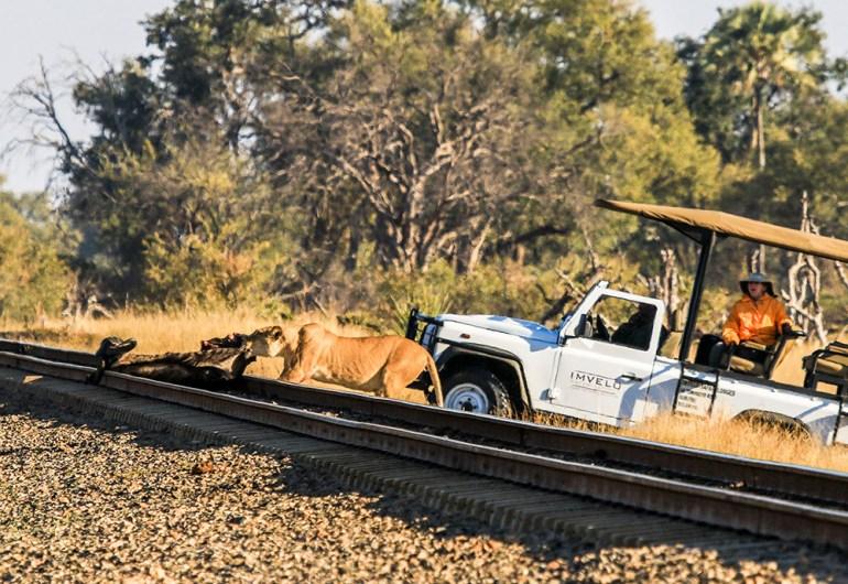 lion and wildebeest zimbabwe