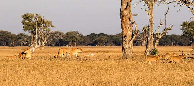 Pride of lion zimbabwe