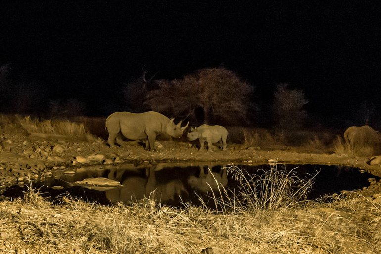 Rhinos near waterhole in Ongava Namibia