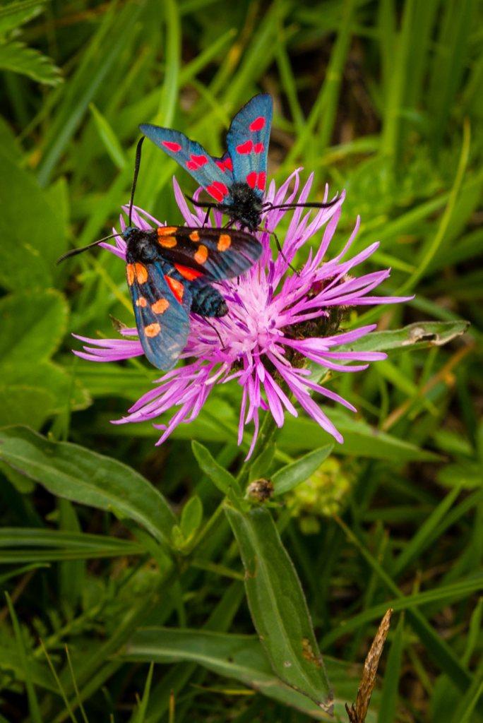 flowers and butterflies in dolomites