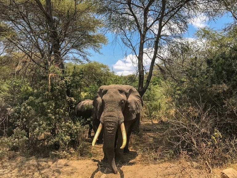 Large male elephant in the Serengeti Tanzania