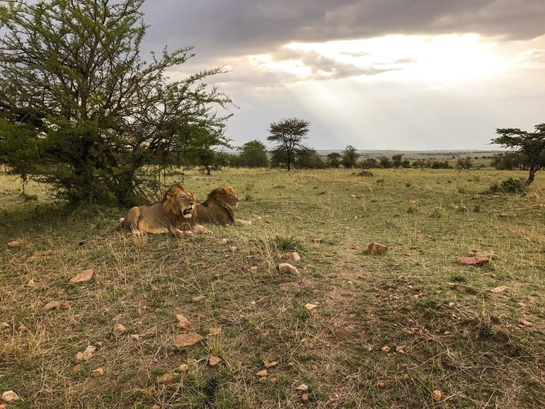 Two lions resting in the Serengeti Tanzania