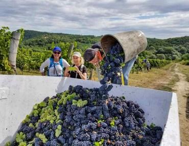 vinyard and grapes