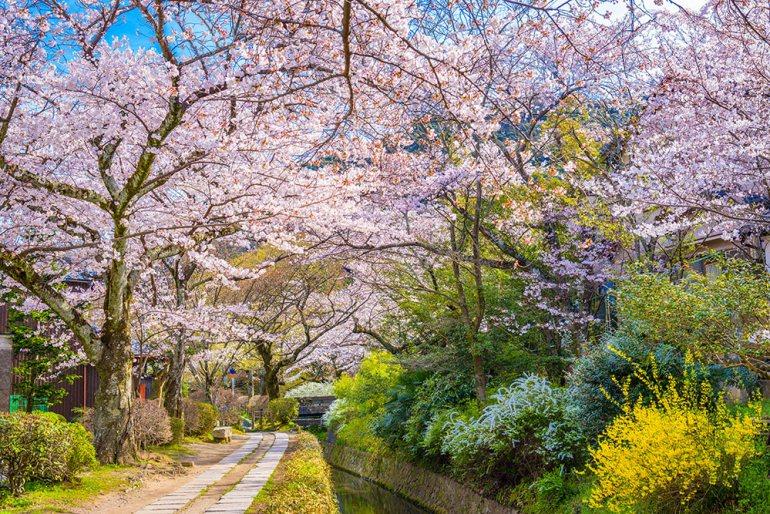 Kyoto Japan Cherry Blossom Spring