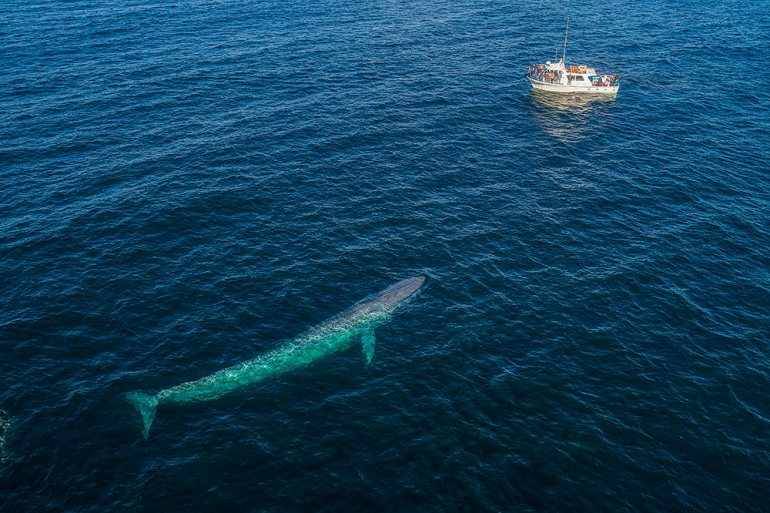 aerial photo of a blue whale swimming toward boat in a bay