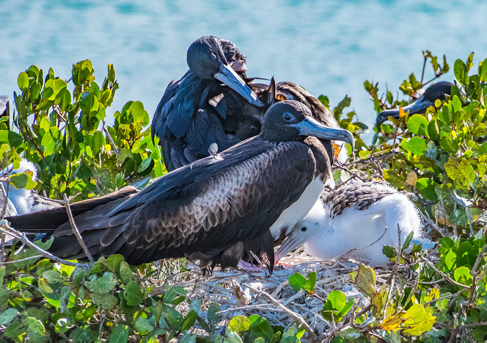 A female frigatebird and her new chick at a large nesting colony