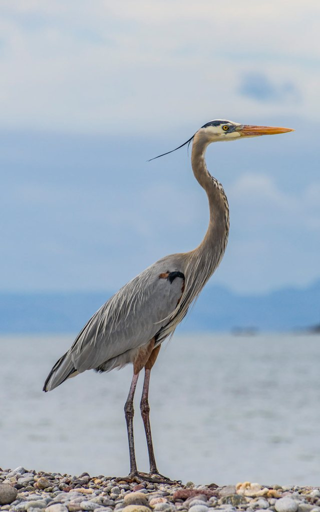 a great blue heron poses for his portrait in Baja