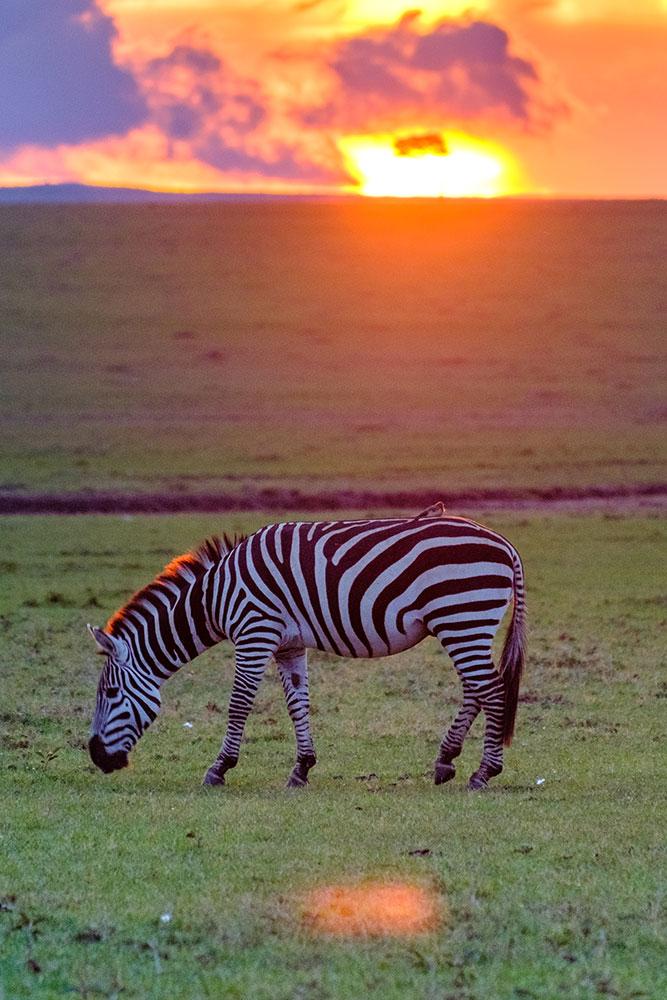 giraffe in sunset by kevin floerke