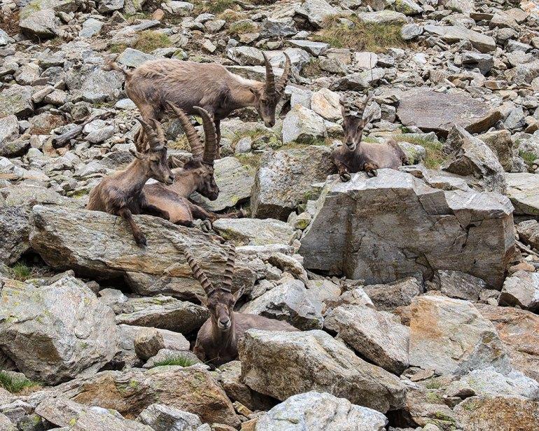 An ibex herd near Mont Blanc
