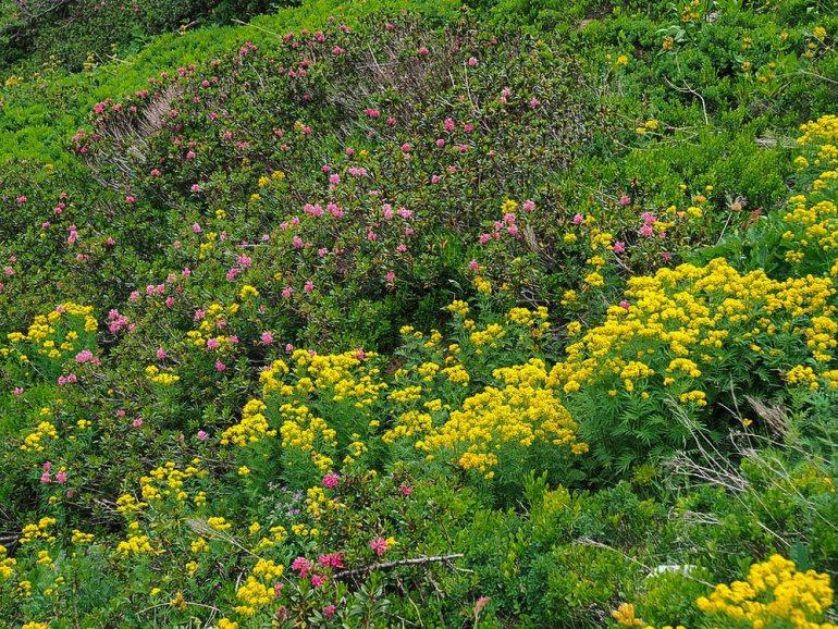 Wildflowers near Mont Blanc