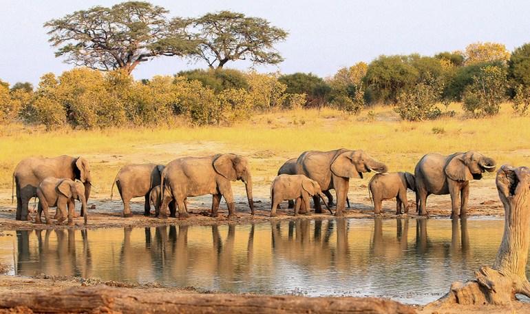 elephant herd in Zimbabwe