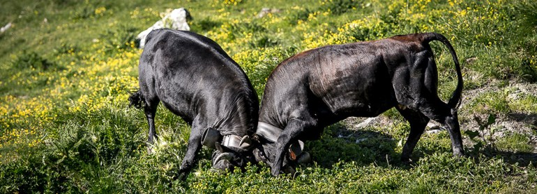 two cows fighting on the haute route