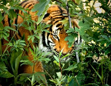 tiger india conservation