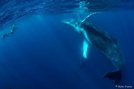 diver and humpback whale in Tonga