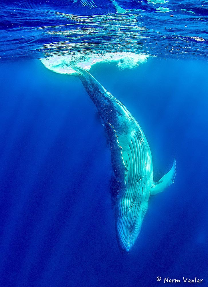 humpback whale diving in Tonga