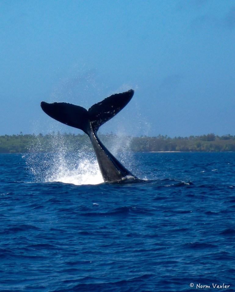 humpback whale fluke in Tonga