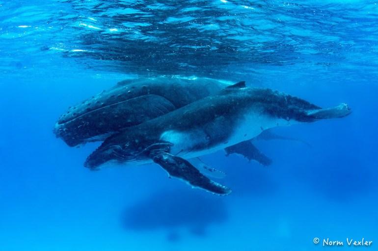 humpback whale mama and calf swimming in Tonga