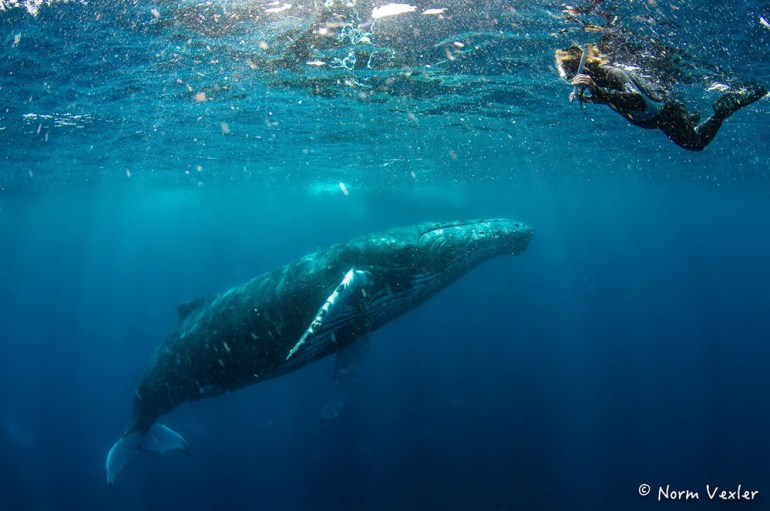 humpback whale swimming in Tonga