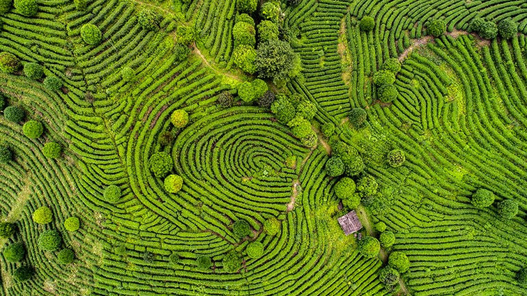 aerial photos sri lanka tea plantation