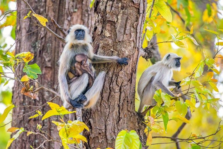 monkeys in tree in india