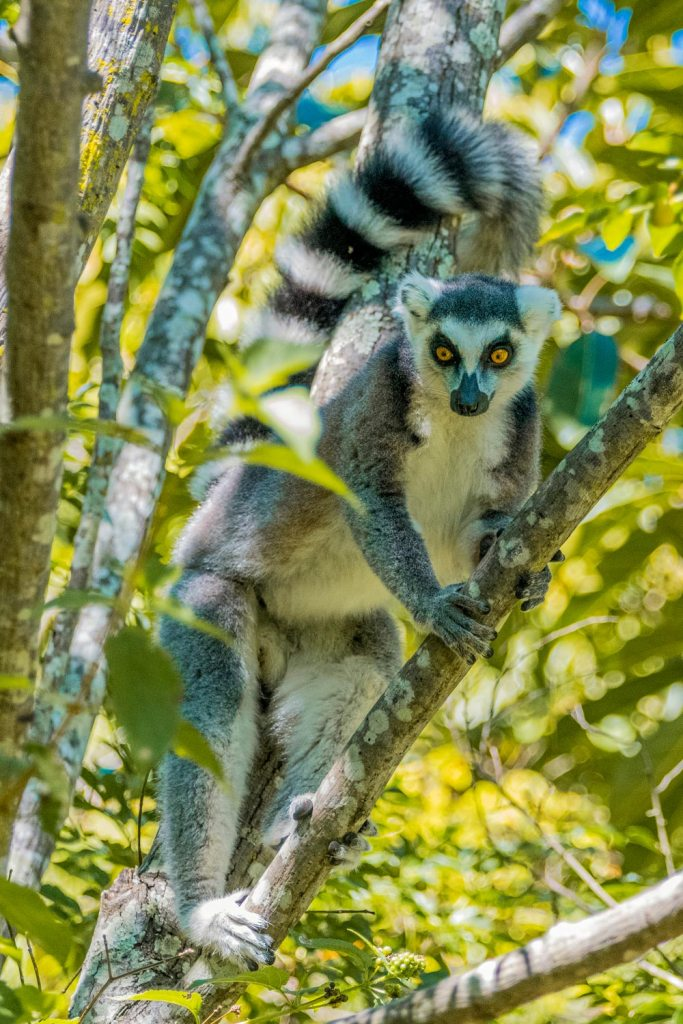ring tailed lemur in tree in Madagascar