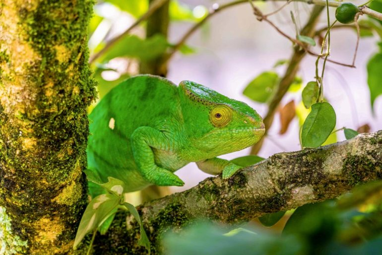 green chameleon in Madagascar