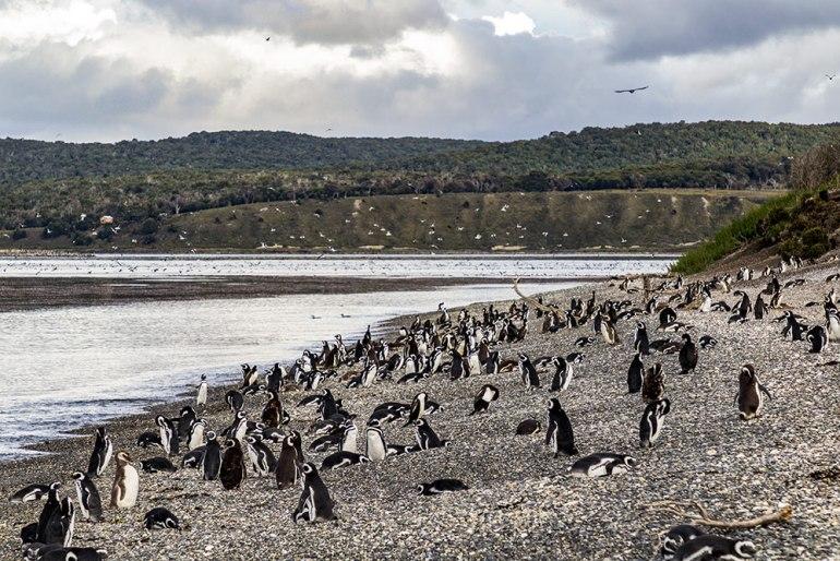 Penguin colony in tierra del fuego patagonia