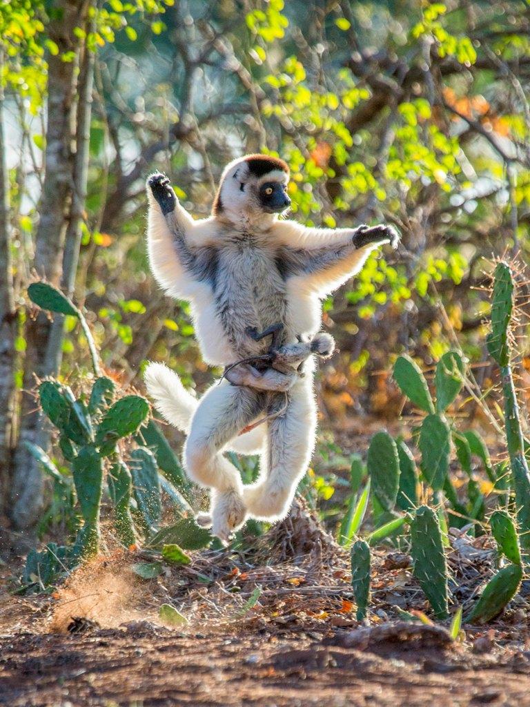 Madagascar-dancing-sifaka-and-baby