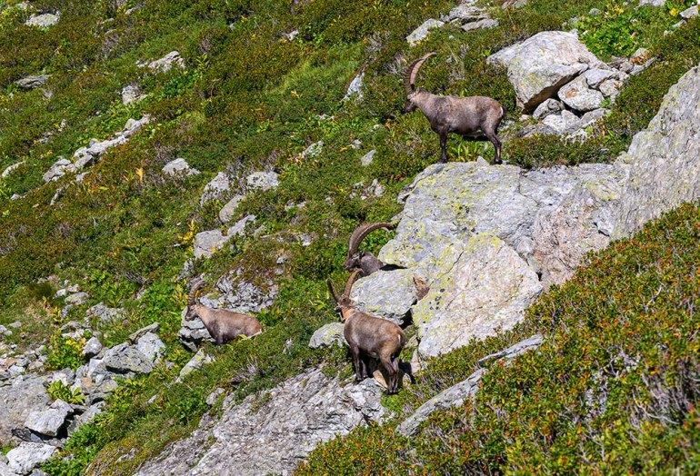 ibex in mont blanc to mediterranean