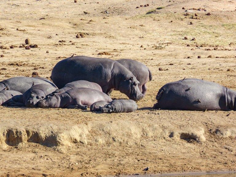 hippos in zimbabwe