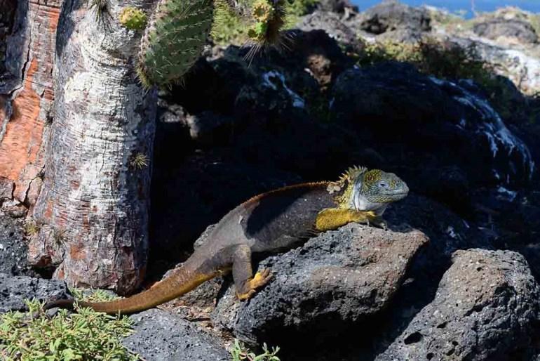 iguana beneath cactus in the galapagos