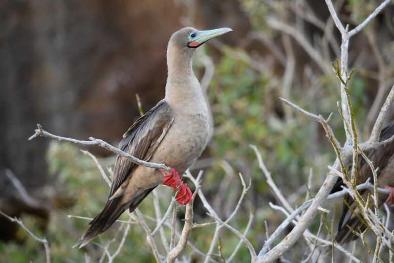 red footed booby in the galapagos